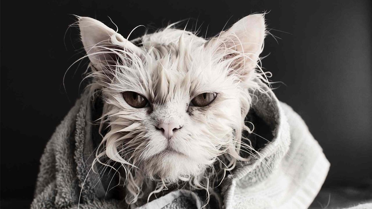 cat bath face